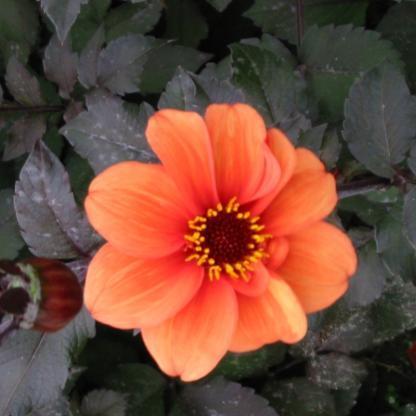 dahlia-catherine-deneuve Egyszerű virágú dália