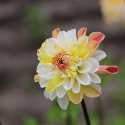 dahlia-double-jill dekorativ dália florapont