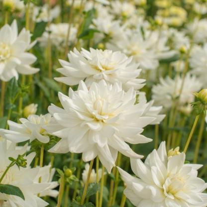 Dahlia 'Eternal Snow' - dekoratív dália 1 A<strong> Eternal Snow - </strong><strong>dália</strong> magas, kb. 110 cm-es, a virágja kb. 11 cm-es. Hófehér, a közepe felé kicsit zöldes. Vágott virágként különösen dekoratív. <em>Ez a termék jelenleg nem rendelhető.</em>