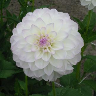 dahlia-eveline- labda virágú dália halvány lilás virága