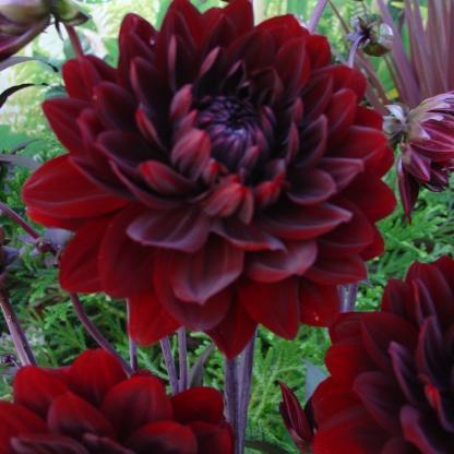 dahlia-karma-choc-dália sötétpiros virága