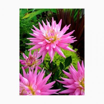 """Dahlia 'Karma Pink Corona' - kaktusz dália 1 <strong>A Karma Pink Corona - kaktusz dália </strong>kb. 90 cm magas, a virága gyönyörű, rózsaszín, kb. 13 cm-es. <em>Kiszerelés: szabadgyökerű, <span lang=""""HU""""><i>extra """"A"""" minőség, fejlett, erős gumó</i></span></em>"""