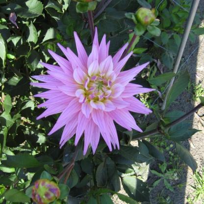Karma Pink Corona Kaktusz dália