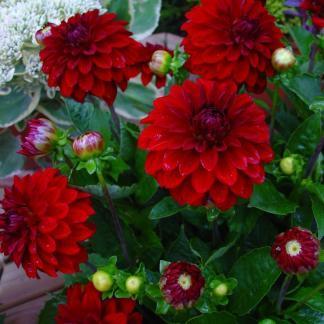 dahlia-melody-mambo dekoratív dália piros