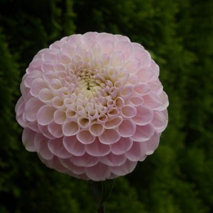 dahlia-wizard-of-oz labda virágú dália halvány rózsaszín virága