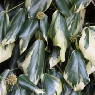 hedera colchica borostyán levele