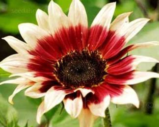 helianthus-ruby-eclipse