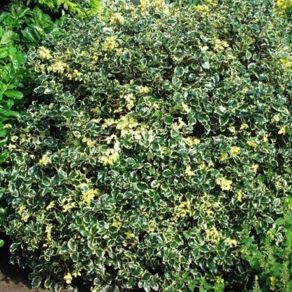 ilex-aquifolium-argenteomarginata_florapont_cserje forma nyírva