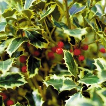 ilex aquifolium argenteomarginata_florapont termése