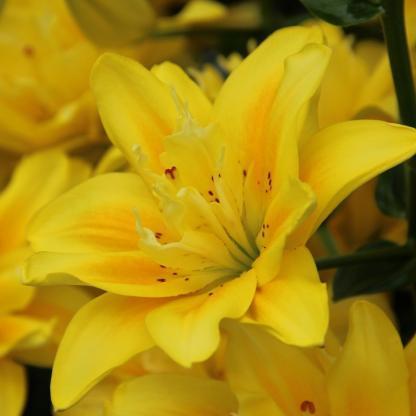 Lilium 'Fata Morgana' Ázsiai liliom sárga