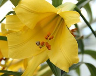 Lilium 'Golden Splendour' Trombitavirágú liliom