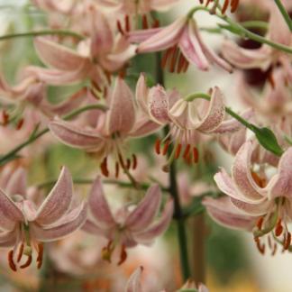 Lilium martagon 'Pink Morning' Turbánliliom