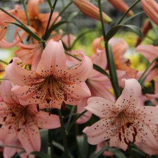 Lilium 'Pink Giant' - Tigrisliliom