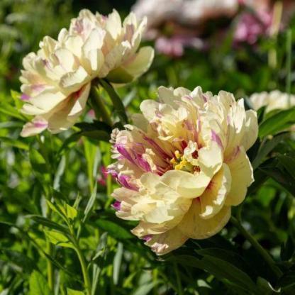 Paeonia Itoh 'Lollipop' - Itoh bazsarózsa hibrid
