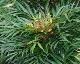 mahonia confusa narihira virágja