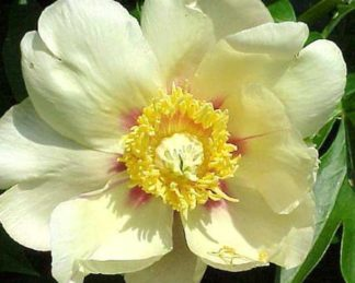 paeonia Viking-Full-Moon florapont