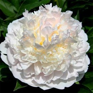 paeonia-blush-queen
