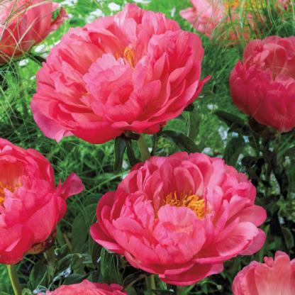 Paeonia Coral Sunset