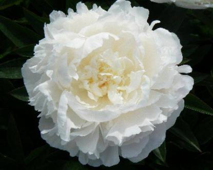 paeonia florence