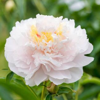 Paeonia lactiflora 'My Love' - lágyszárú bazsarózsa