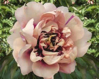 paeonia_all that jazz