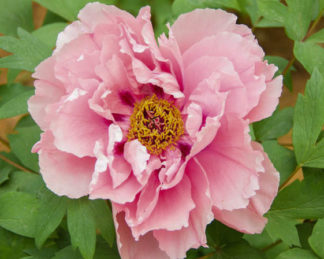 paeonia_first arrival