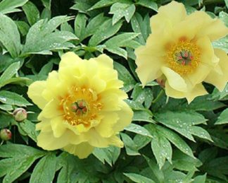 paeonia_sequestered sunshin