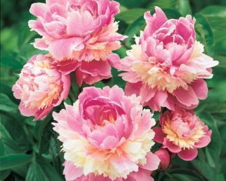 paeonia sorbet florapont