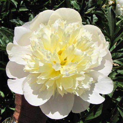 A Paeonia lactiflora 'Primevére' fehér több színében játszó lágyszárú bazsarózsa