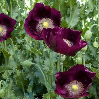 Papaver somniferum 'Lauren's Grape' - díszpipacs