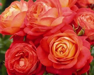 rosa_midsummer
