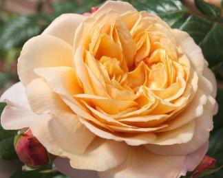 rose_capri