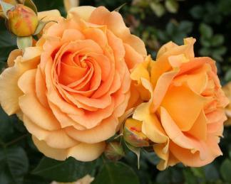 rose_goldense