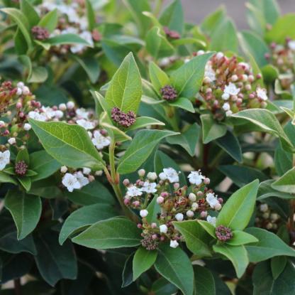 viburnum-tinus-Eva-Price_virága