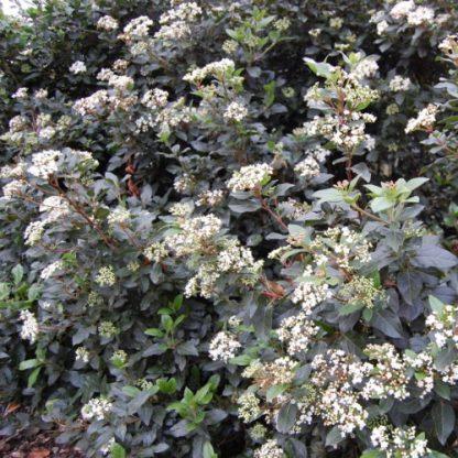 viburnum tinus eve price bokor virágzása