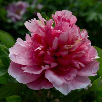 ying ri hong peonia_florapont online rendeles