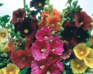 Alcea ficifolia 'Happy Lights'