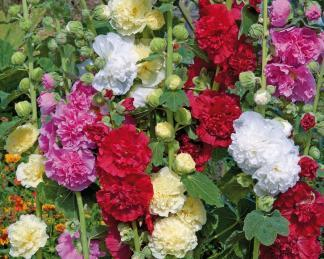 Alcea rosea 'Chaters Double Mix'