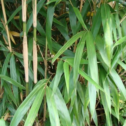 Bambusa metake_ levele_florapont