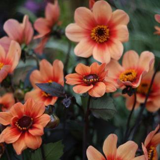 Dahlia 'Happy Single Flame' Egyszerű virágú dália