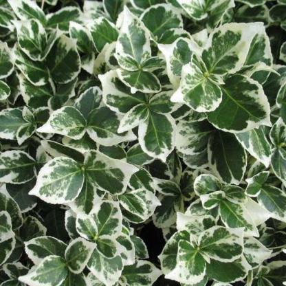 Euonymus fortunei 'Emerald Gaiety'_florapont