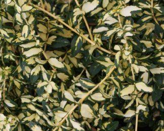 Euonymus fortunei 'Micaela' florapont