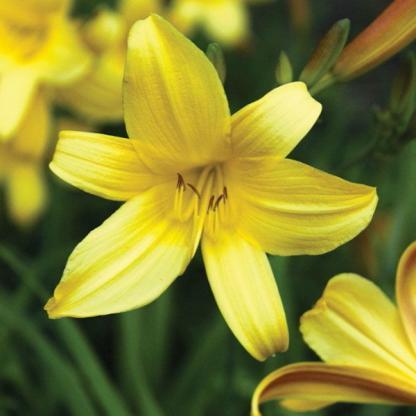 Hemerocallis Sovereign_virága_florapont