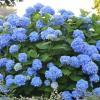 Hydrangea macrophylla 'Endless Summer The Original' - hortenzia