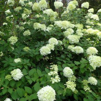 Bugás hortenzia (Hydrangea paniculata)