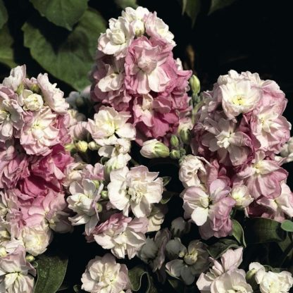 Matthiola incana, Lilac-Lavender' Florapont