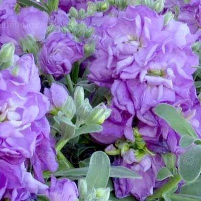 Matthiola 'Cinderella Lavender' - nyári viola