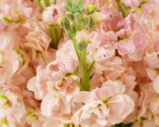 Matthiola incana 'Apricot' florapont