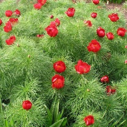 Paeonia lactiflora 'Tenuifolia' 1 Díjnyertes, rendkívül látványos, különleges levélzetű lágyszárú bazsarózsa