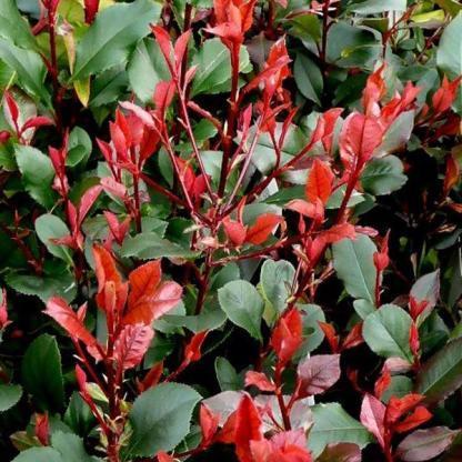 Photinia-x-fraseri-Little-Red-Robin_florapont